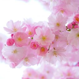 Japanese Cherry Trees 324175 1920